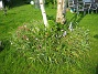 Vildtulpaner  2007-05-17 Bild 042