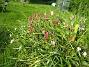Vildtulpaner  2007-05-17 Bild 044