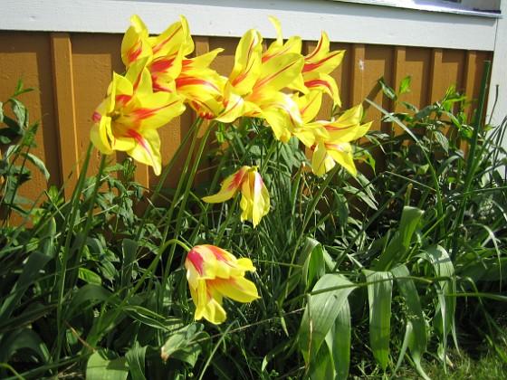 Liljeblommiga Tulpaner &nbsp 2007-05-20 Bild 010 Granudden Färjestaden Öland
