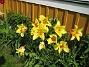 Liljeblommiga Tulpaner  2007-05-20 Bild 009