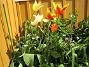 Liljeblommiga Tulpaner  2007-05-20 Bild 011