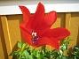 Liljeblommiga Tulpaner  2007-05-20 Bild 012