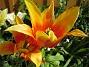 Liljeblommiga Tulpaner  2007-05-20 Bild 013