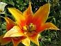 Liljeblommiga Tulpaner  2007-05-20 Bild 014