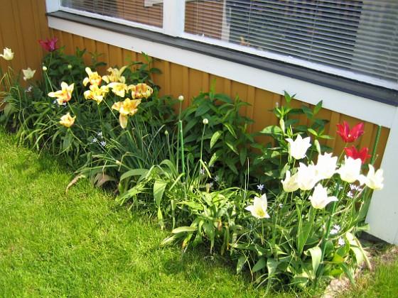 Liljeblommiga Tulpaner &nbsp 2007-05-27 Bild 011 Granudden Färjestaden Öland
