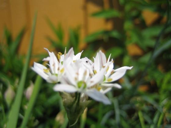 Prydnadslök - Allium {  }
