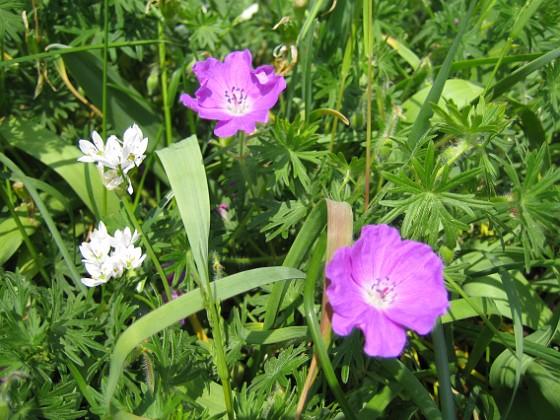 Allium och Blodnäva &nbsp 2007-05-27 Bild 043 Granudden Färjestaden Öland