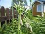 Honungslök  2007-05-27 Bild 006