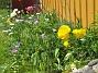 Ranunkler  2007-05-27 Bild 032