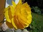 Ranunkler  2007-05-27 Bild 038