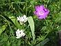 Allium och Blodnäva  2007-05-27 Bild 042