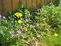 Allium  2007-06-10 Bild 008