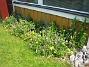 Allium och Blodnäva  2007-06-10 Bild 010