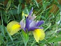 Iris  2007-06-10 Bild 062