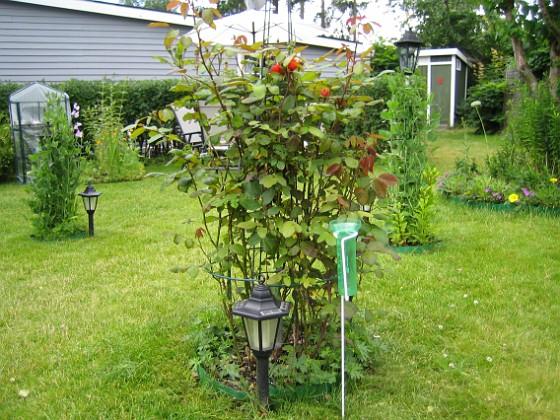 Rosbuske &nbsp 2007-06-24 Bild 009 Granudden Färjestaden Öland
