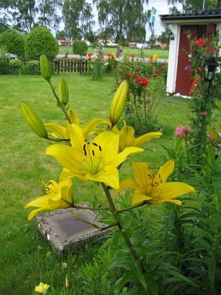 Liljor  2007-07-09 Bild 045 Granudden Färjestaden Öland