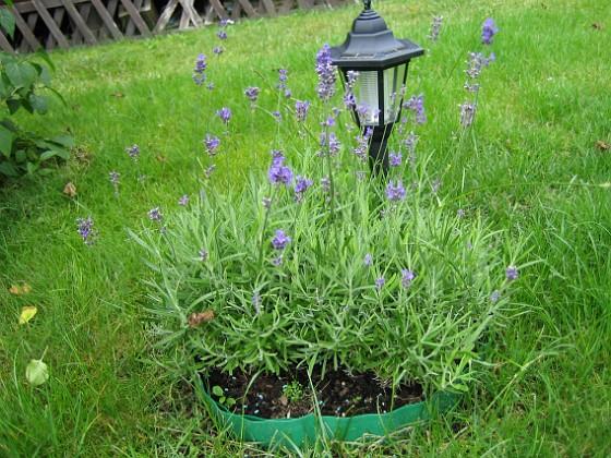 Lavendel {  }