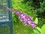 Fjärilsbuske  2007-07-09 Bild 050