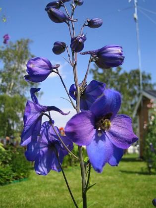 Riddarsporre  2007-07-18 Bild 020 Granudden Färjestaden Öland