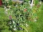 Luktärt  2007-07-29 Bild 014