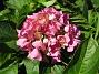 Hortensia. (2007-08-07 Bild 012)
