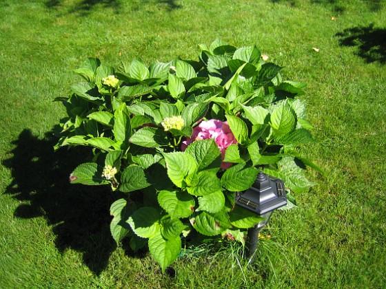 Hortensia Hortensia. 2007-08-26 Bild 010 Granudden Färjestaden Öland