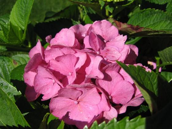Hortensia Hortensia. 2007-08-26 Bild 012 Granudden Färjestaden Öland