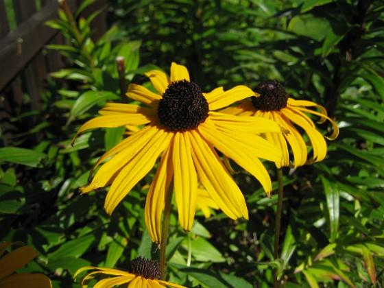 Strålrudbeckia { Strålrudbeckia. }
