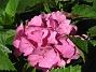 Hortensia. (2007-08-26 Bild 012)