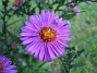 Aster,