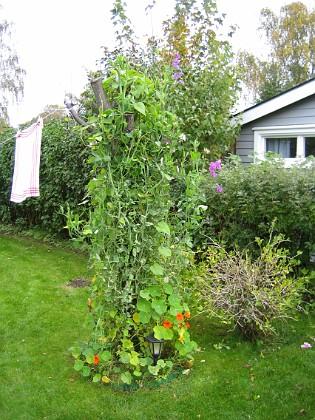 Körsbärsträdet. 2007-10-07 Bild 034 Granudden Färjestaden Öland