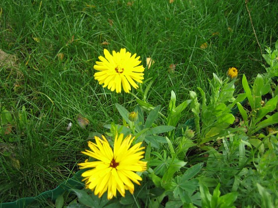 En vacker blomma på Bakgården. 2007-10-07 Bild 058 Granudden Färjestaden Öland
