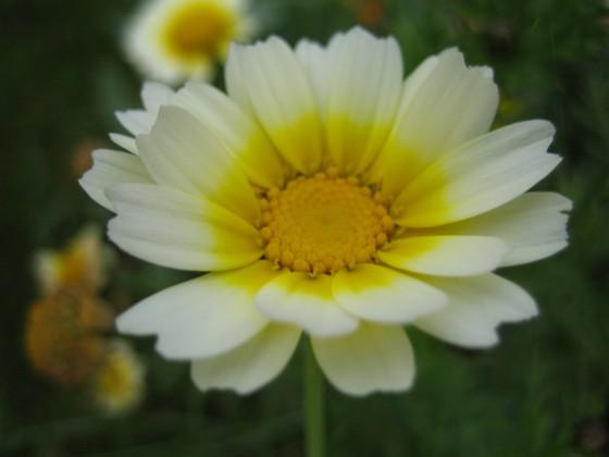 Ännu en okänd blomma. 2007-10-07 Bild 070 Granudden Färjestaden Öland