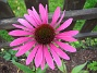 Solhatt, Rubinstern En Echinacea, typ Rubinstern. 2007-10-07 Bild 011
