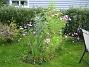 Rosenskära Vid Uteplatsen finns väldigt höga Rosenskära. 2007-10-07 Bild 035