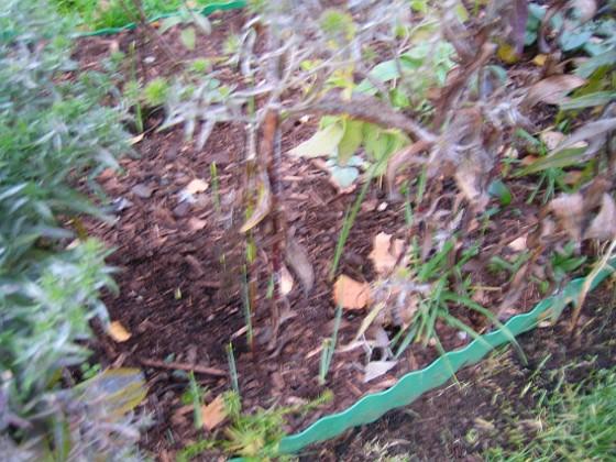 Redan nu har en del Irisar börjat växa! 2007-10-28 Bild 008 Granudden Färjestaden Öland