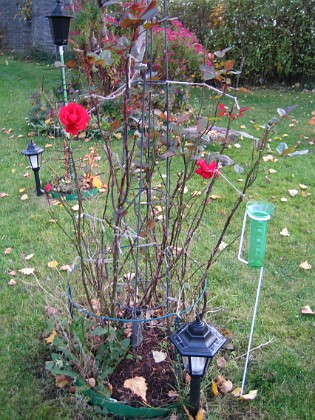 Rosbusken har för andra året i rad tappat alla sina blad. 2007-10-28 Bild 022 Granudden Färjestaden Öland