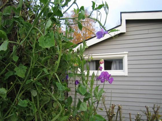 Granudden Luktärt i oktober?!&nbsp 2007-10-28 Bild 023 Granudden Färjestaden Öland