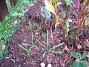 Pärlhyacinter? (2007-10-28 Bild 012)