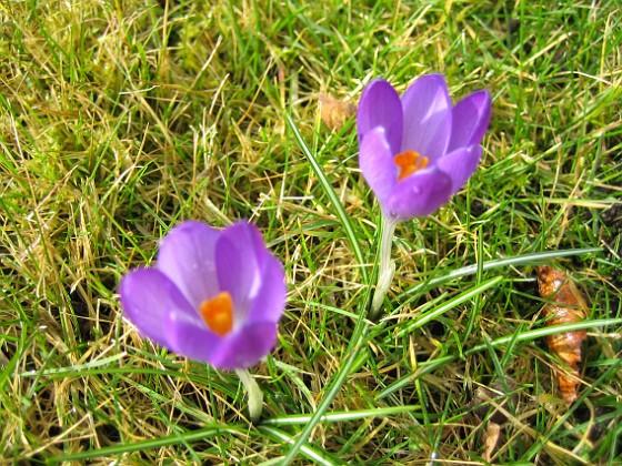 Krokus { Krokus utan fokus (kameran fokuserar på gräset). }
