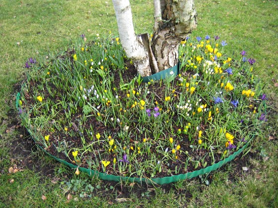 Krokus Krokus och Iris vid Björken.&nbsp 2008-03-01 Bild 023 Granudden Färjestaden Öland