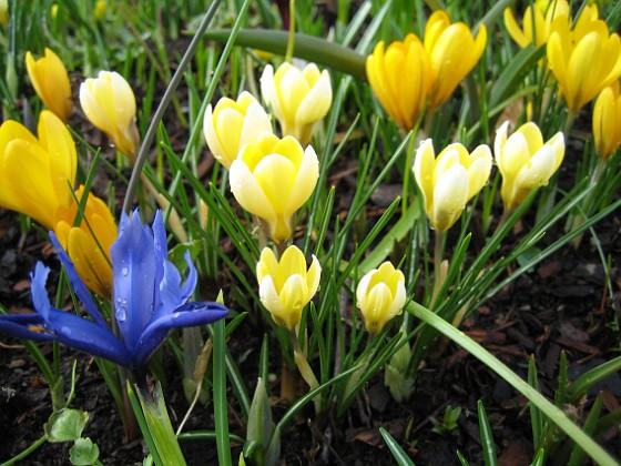 Krokus { Krokus och Iris vid Björken. }