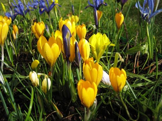 Krokus Krokus och Iris vid Björken.&nbsp 2008-03-01 Bild 038 Granudden Färjestaden Öland