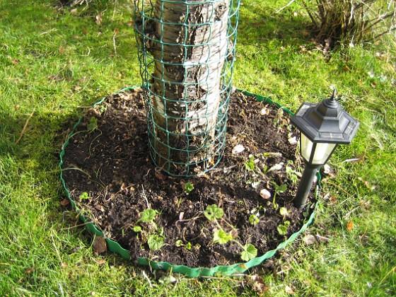 Här vid det gamla körsbärsträdet skall det växa lite Stockrosor. 2008-03-01 Bild 040 Granudden Färjestaden Öland