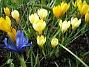 Krokus och Iris vid Björken. (2008-03-01 Bild 026)