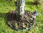 Här vid det gamla körsbärsträdet skall det växa lite Stockrosor. (2008-03-01 Bild 040)