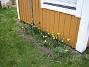 Påsklilja  2008-04-12 Bild 003