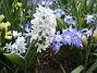 Porslinshyacint  2008-04-12 Bild 009