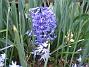 Hyacint  2008-04-12 Bild 012