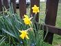 Påsklilja  2008-04-12 Bild 017